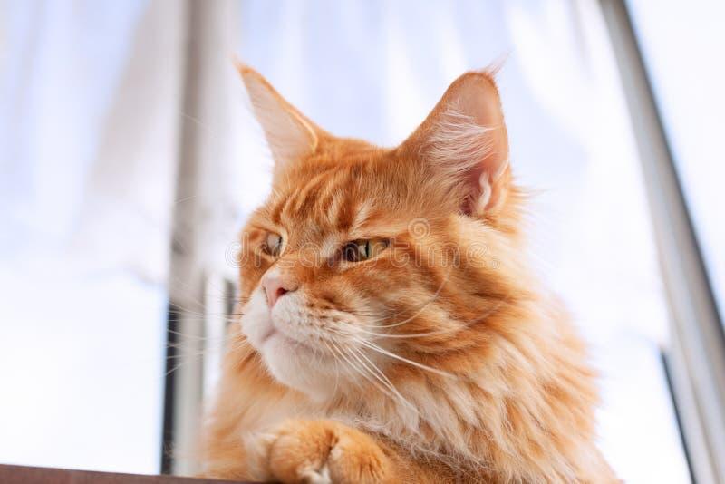Röda Maine Coon Kitten som sitter på tabellen arkivfoto