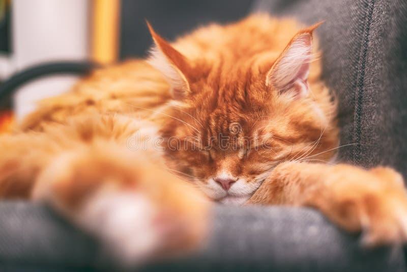 Röda Maine Coon Kitten som sover på en stol arkivbild