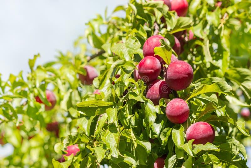 Röda mirabelleplommoner som mognar på plommonträd royaltyfria bilder
