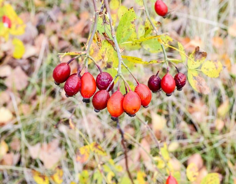 Röda mogna briarbär, makrofoto Höftbuske med mogna bär Bär av en dogrose på en buske Frukter av lösa rosor Taggig hund royaltyfria bilder