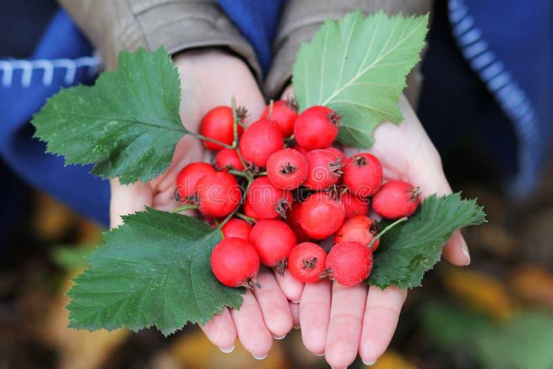 Röda mogna frukter i mitt gömma i handflatan flickor arkivfoto