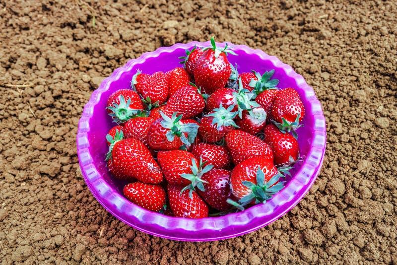Röda mogna trädgårdjordgubbar i en djup plast- platta, kopp, bunke, redskap som står på jordningen royaltyfri bild