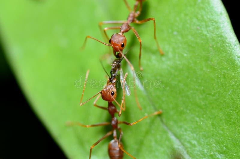 Röda myror arbetar tillsammans för att komma med mat till redet/myrstacken royaltyfria bilder