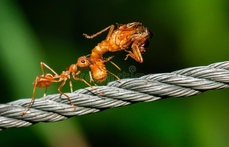 Röda myror som går och att bära felkroppen royaltyfria foton