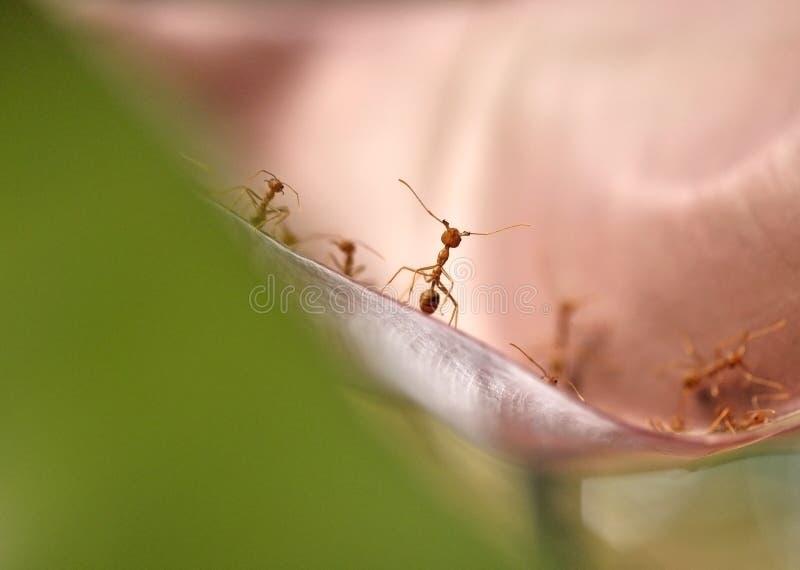Röda myror som står framsidan - till - framsida på bladet royaltyfri bild