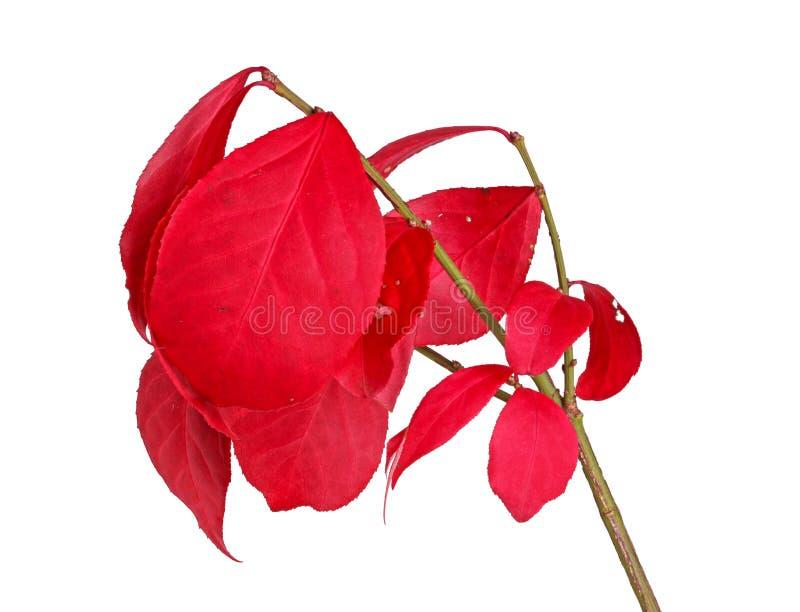 Röda nedgångsidor av en brinnande buske som isoleras på vit arkivfoto