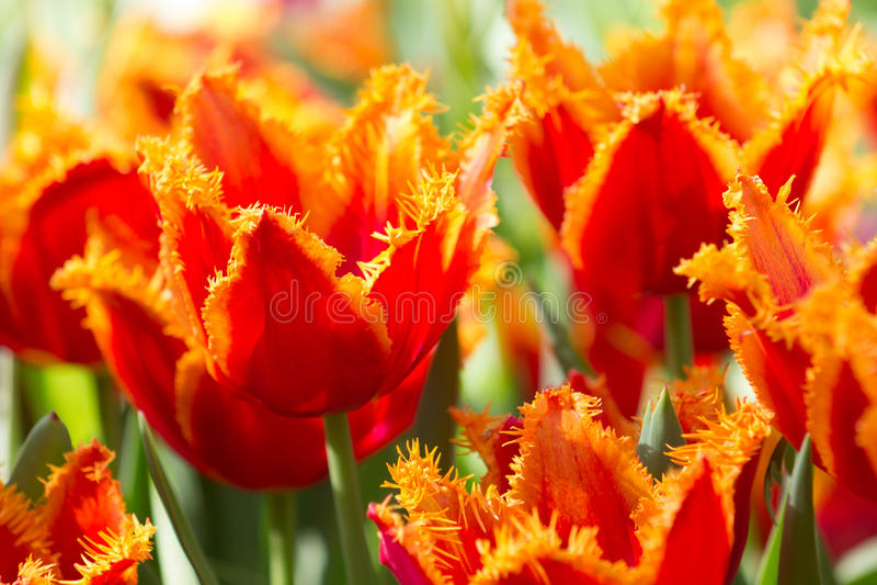 Röda och apelsin satte fransar på tulpan arkivbild