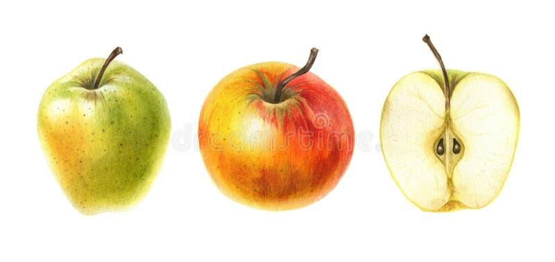 Röda och gröna äpplen i vattenfärg Hand dragen botanisk illustration vektor illustrationer