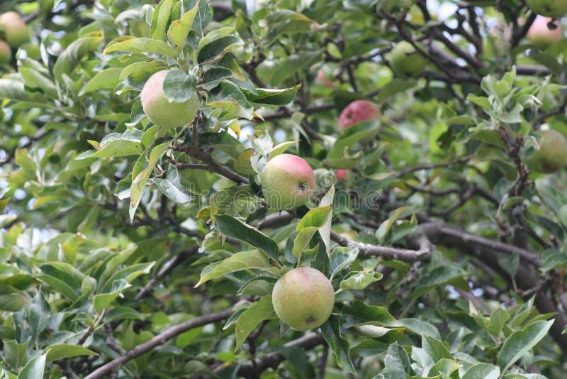 Röda och gröna äpplen på trädet royaltyfria bilder