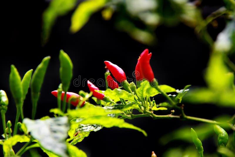 Röda och gröna chilipeppar i organisk lantgård fotografering för bildbyråer