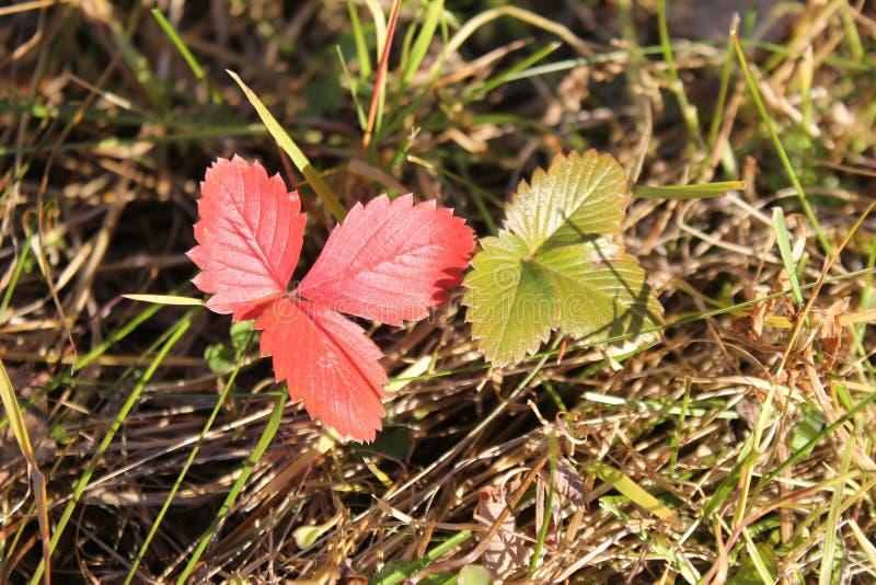 Röda och gröna sidor av lösa jordgubbar i höstgräset arkivfoton