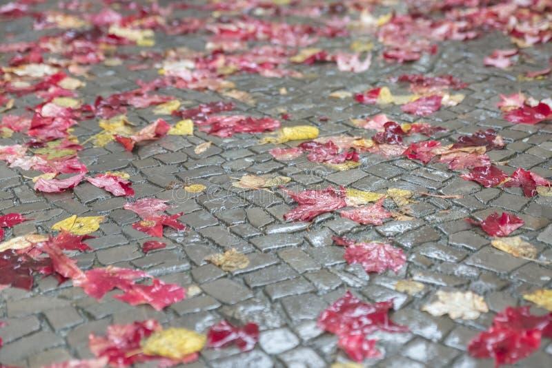 Röda och gula höstsidor ligger beautifully på en våt trottoar I arkivfoton