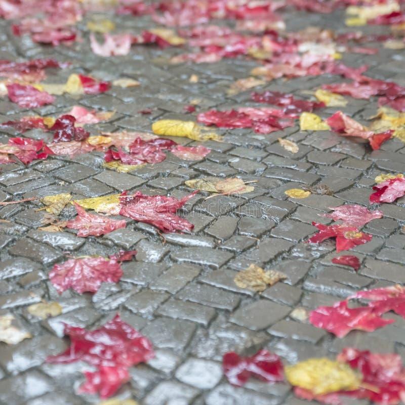 Röda och gula höstsidor ligger beautifully på en våt trottoar I royaltyfria bilder