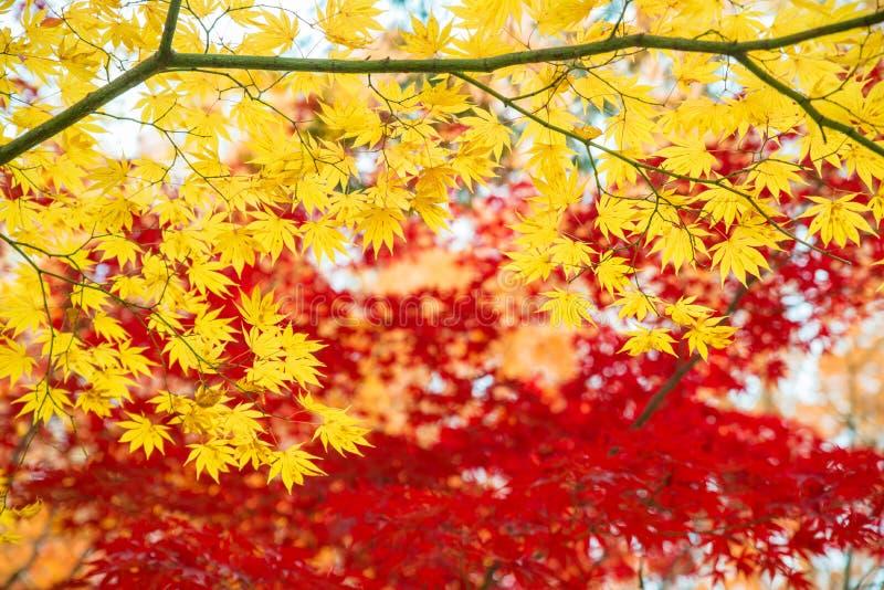 Röda och gula lönnlöv i höstsäsong med blurr för blå himmel arkivfoton