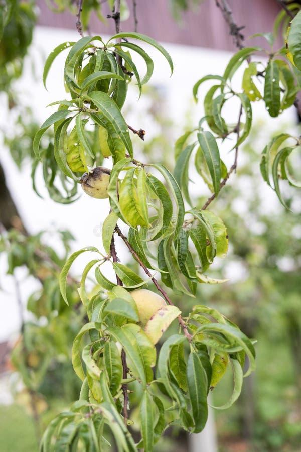 Röda och gula persikor i höst royaltyfri fotografi