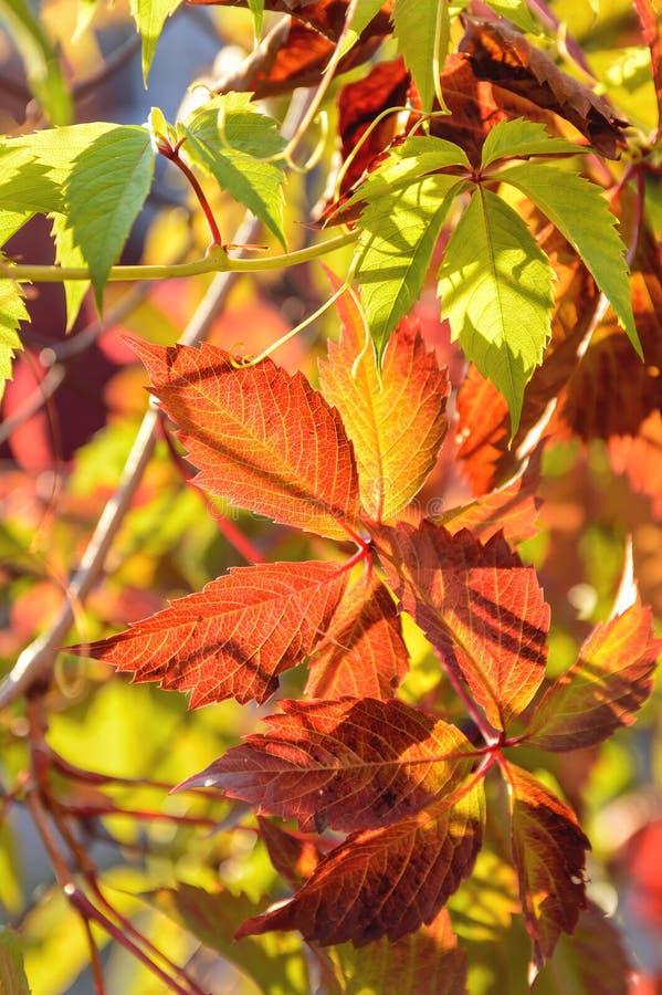 Röda och gula sidor av lösa druvor Härlig naturlig höstbakgrund Vertikalt foto royaltyfri foto