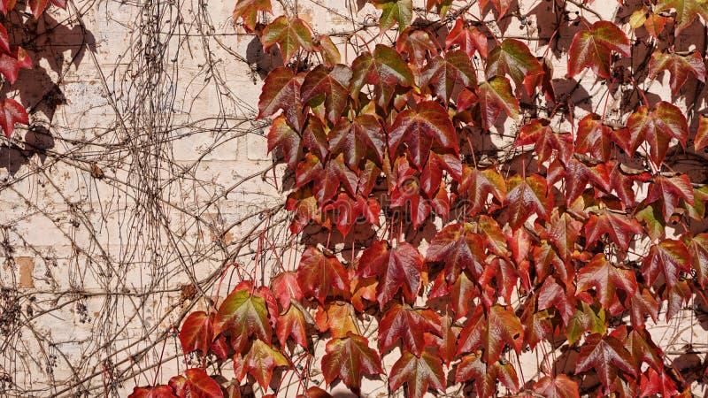 Röda och gula sidor för höst av druvor mot väggbakgrunden arkivbild