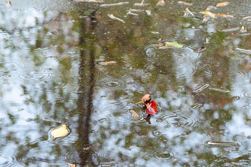 Röda och gula sidor i pöl i höst regnar arkivfoton