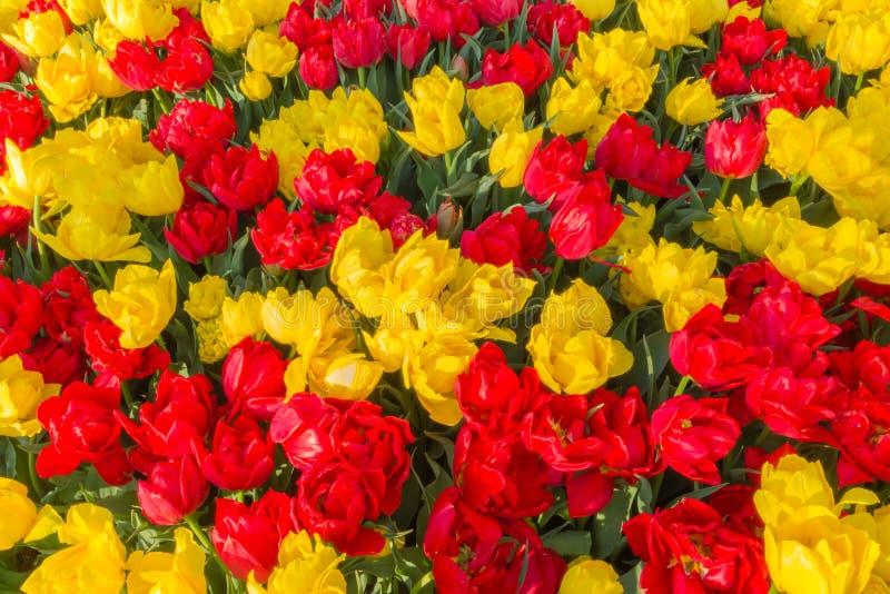 Röda och gula tulpan royaltyfria bilder