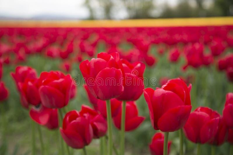 Röda och gula tulpan i ett fält arkivbilder