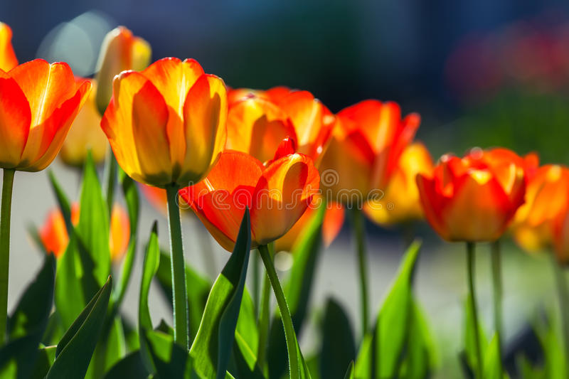 Röda och gula tulpan mot solen, fält av vårblomman tu fotografering för bildbyråer
