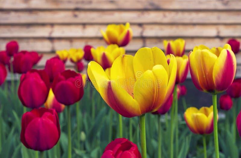 Röda och gula tulpan på bakgrunden av ett trähus royaltyfri fotografi
