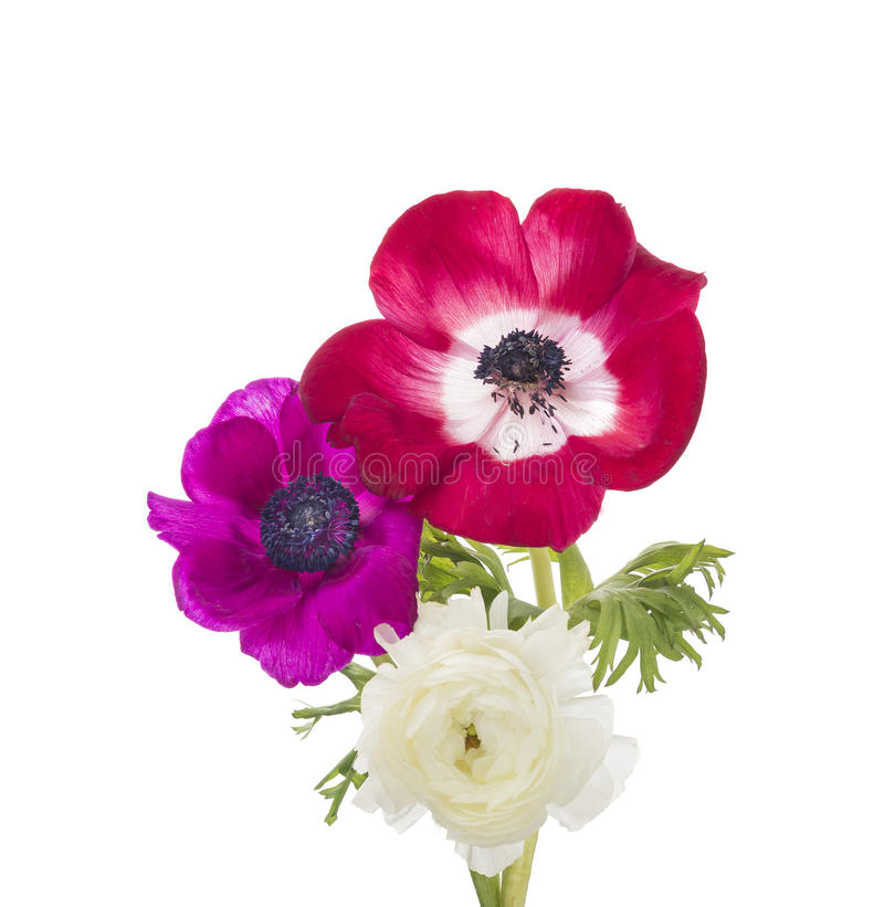 Röda och lila anemoner och smörblommor som isoleras royaltyfria foton