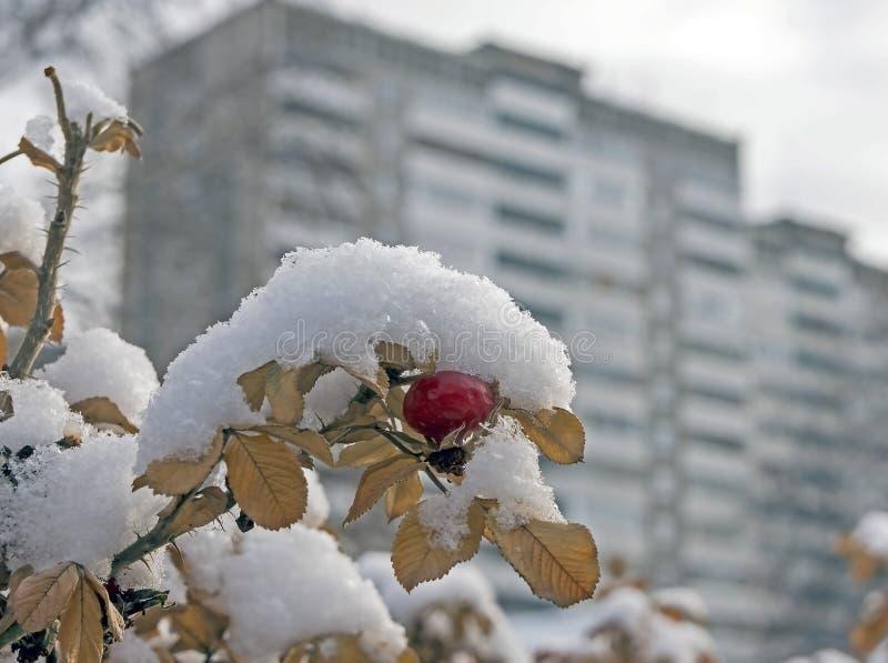 Röda och orange rosa höfter som täckas med snö arkivbilder