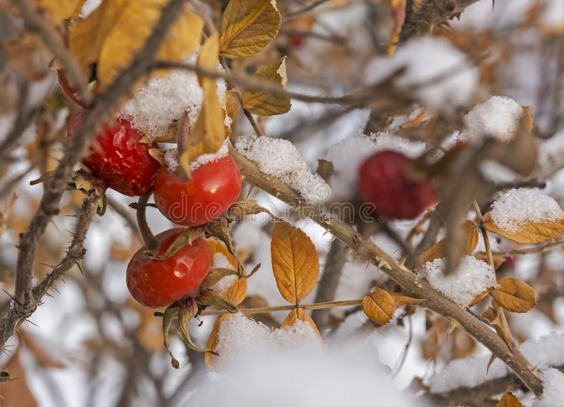 Röda och orange rosa höfter som täckas med snö royaltyfria foton