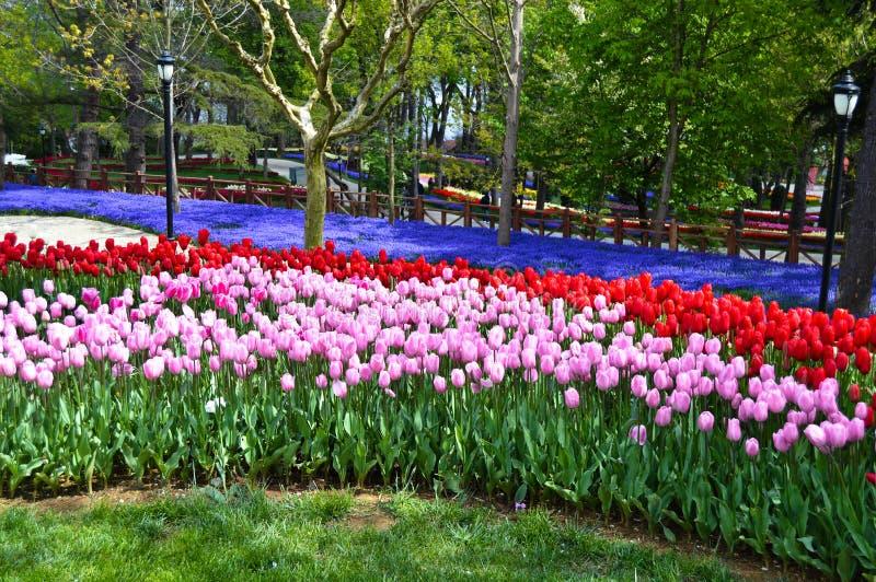 Röda och rosa spektakulära tulpan, blå arabisk hyacint på våren Emirgan utomhus- Korusu parkerar arkivfoton