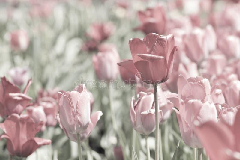 Röda och rosa tulpan i en parkera arkivfoto