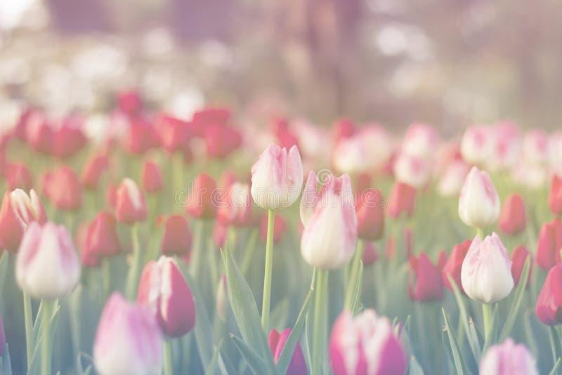 Röda och rosa tulpan som blommar i vår, arbeta i trädgården fotografering för bildbyråer