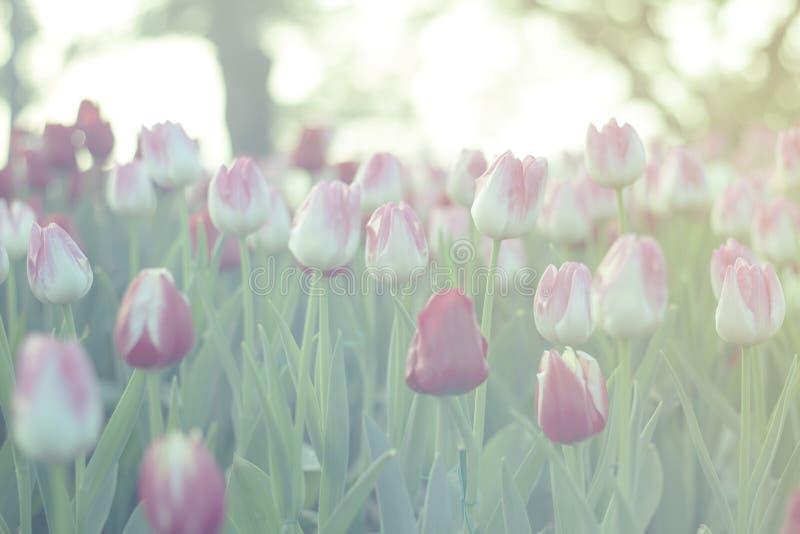 Röda och rosa tulpan som blommar i vårträdgård med solen, blossar bakgrund, tonat grönt arkivfoton