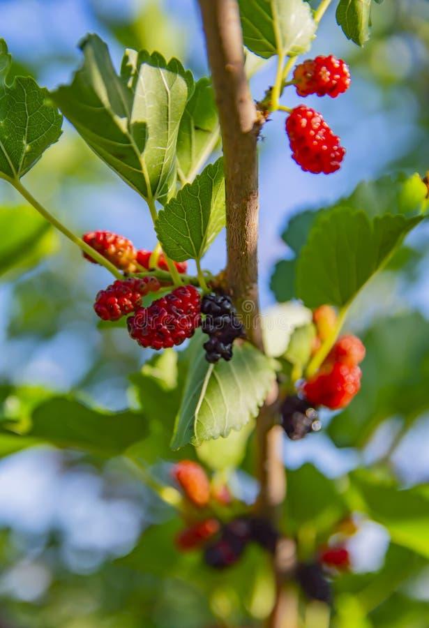 Röda och svarta mullbärsträd på en filial - makrofotografi fotografering för bildbyråer