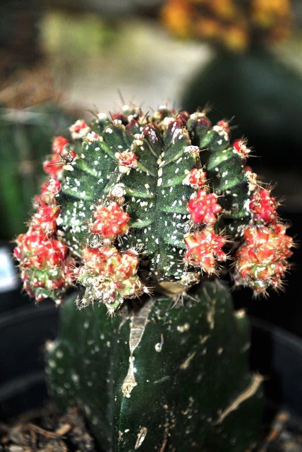Röda och taggiga fläckar för kaktus royaltyfria foton