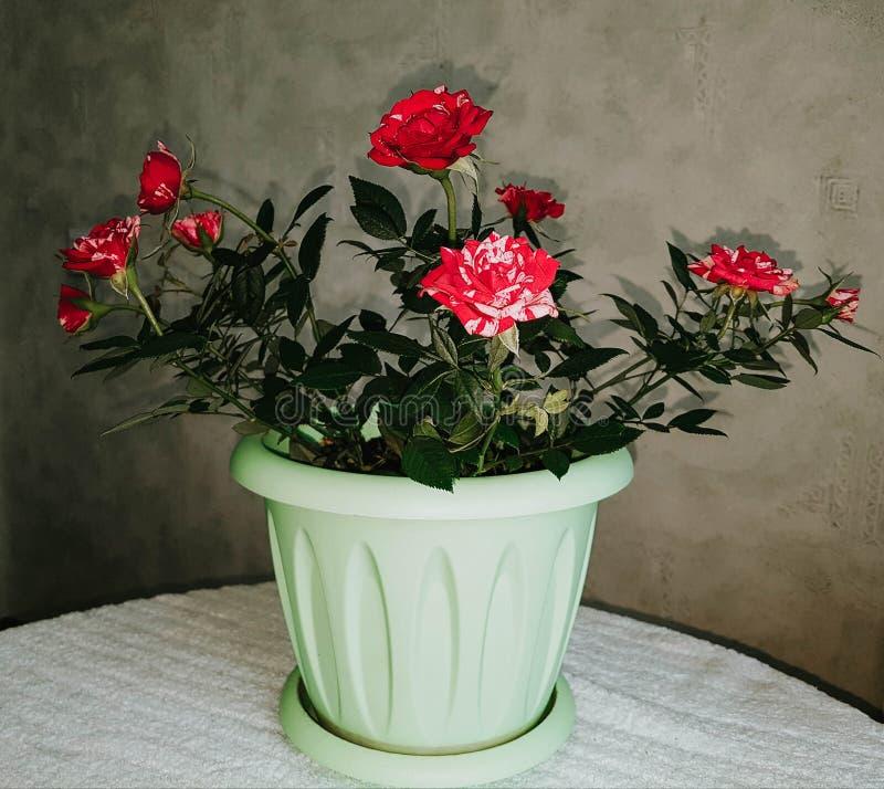 Röda och vita färgglade kronblad royaltyfri bild