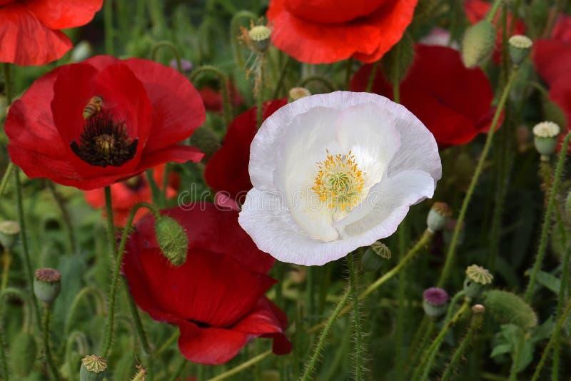 Röda och vita fredvallmo 03 royaltyfri bild