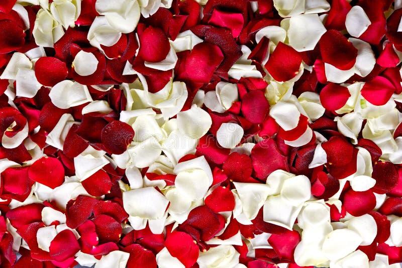 Röda och vita kronblad arkivbild