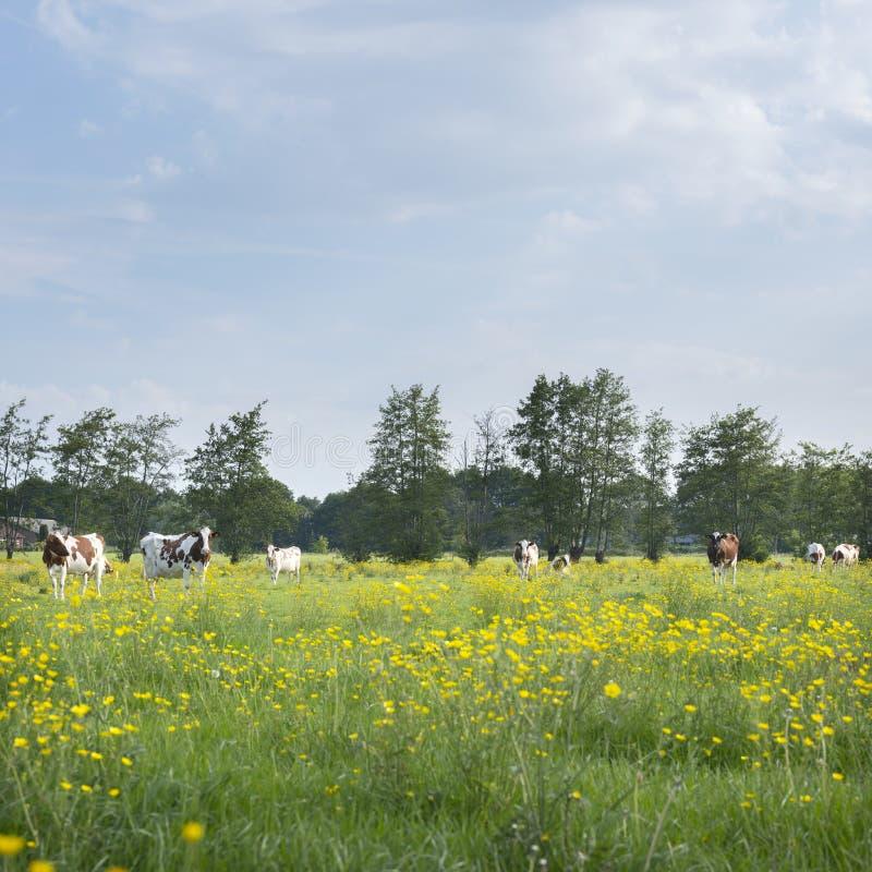 Röda och vita prickiga kor och smörblommor i holländsk sommaräng nära utrecht och amersfoort i holland royaltyfri fotografi