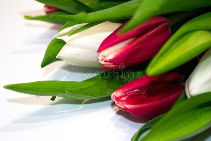 Röda och vita tulpanknappar för Closeup på vit bakgrund Begrepp av gåvan, friskhet, valentin dag, internationella kvinnors dag, royaltyfri bild