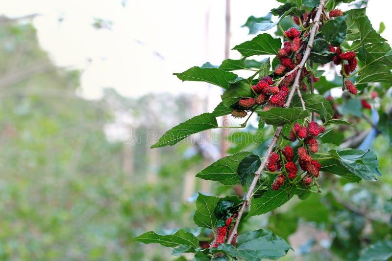 Röda omogna mullbärsträd på filialen royaltyfria foton