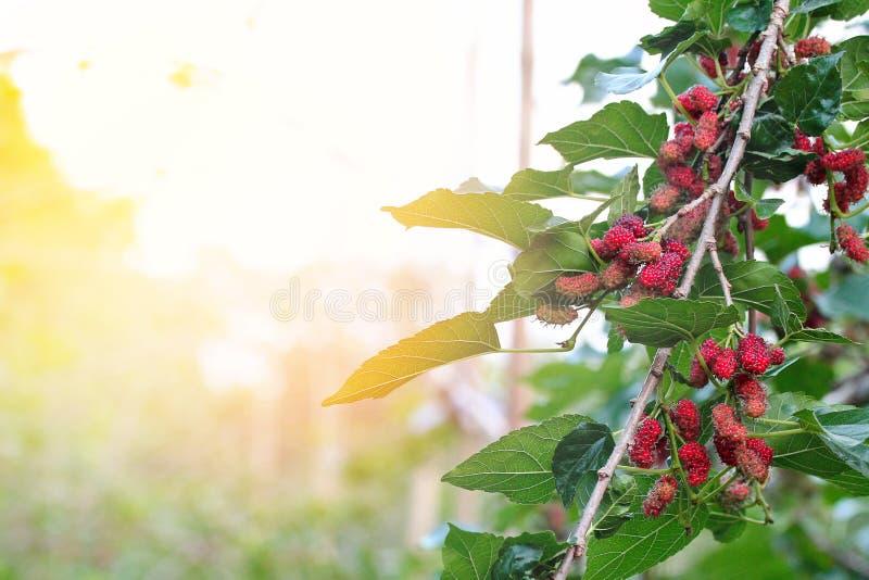 Röda omogna mullbärsträd på filialen royaltyfri bild