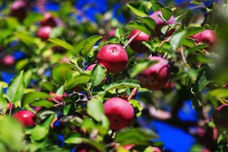 Röda organiska äpplen som hänger från en trädfilial i ett höstäpple royaltyfria bilder