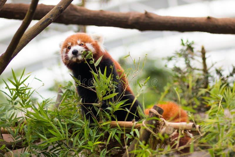 Röda Panda Feeding fotografering för bildbyråer