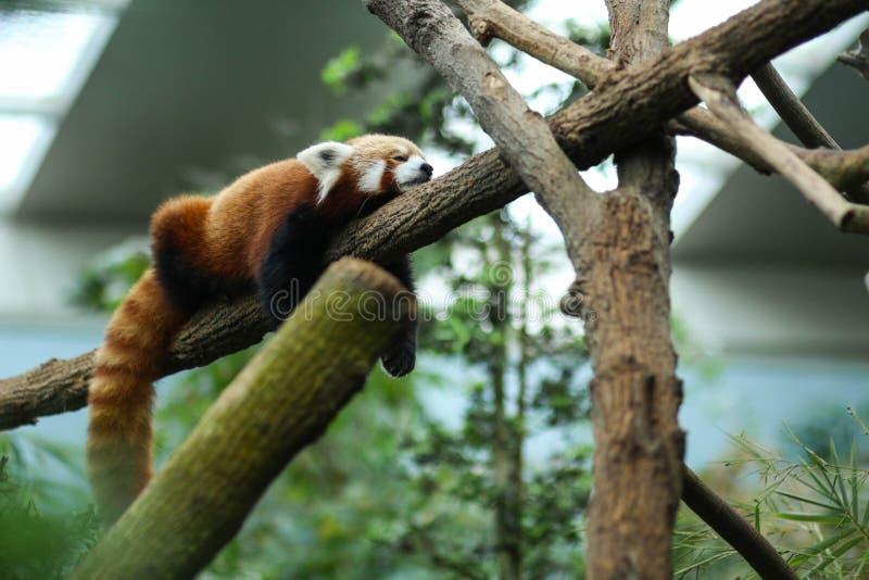 Röda Panda Sleeping fotografering för bildbyråer
