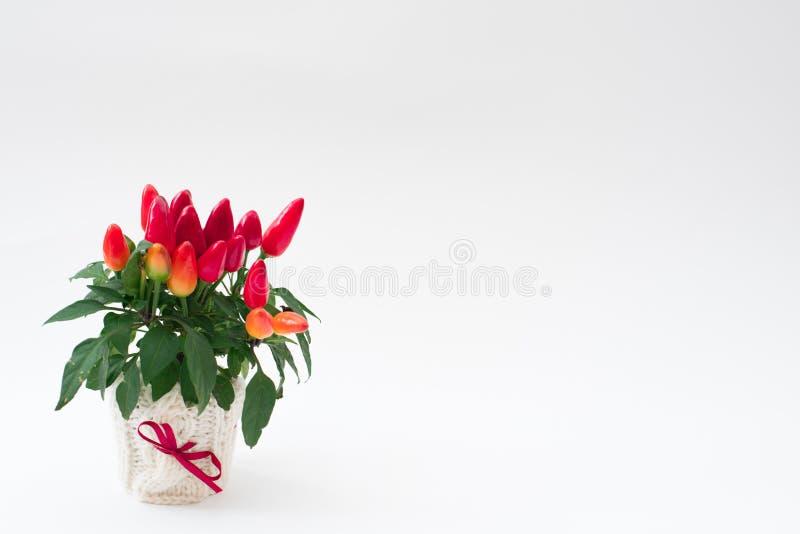 Röda peppar i en kruka royaltyfri fotografi