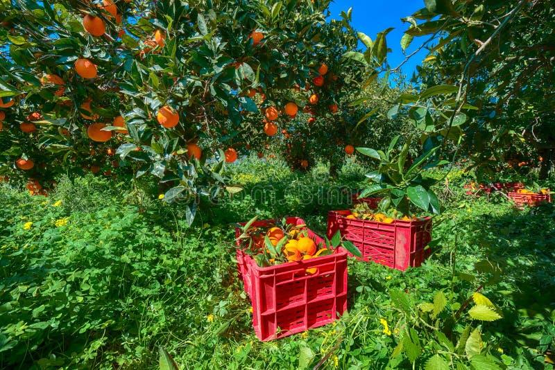 Röda plast- fruktaskar som är fulla av apelsiner vid orange träd under skördsäsong i Sicilien royaltyfri fotografi