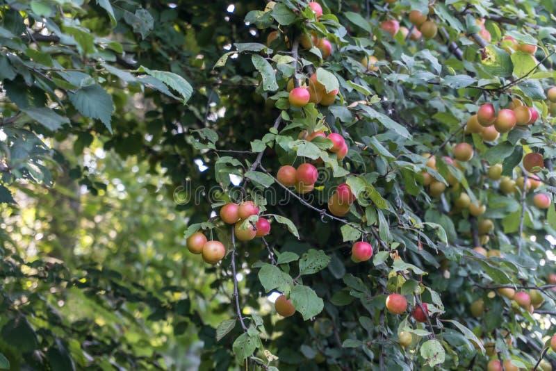 Röda plommoner eller renklo på en buske för plommonträd royaltyfri bild