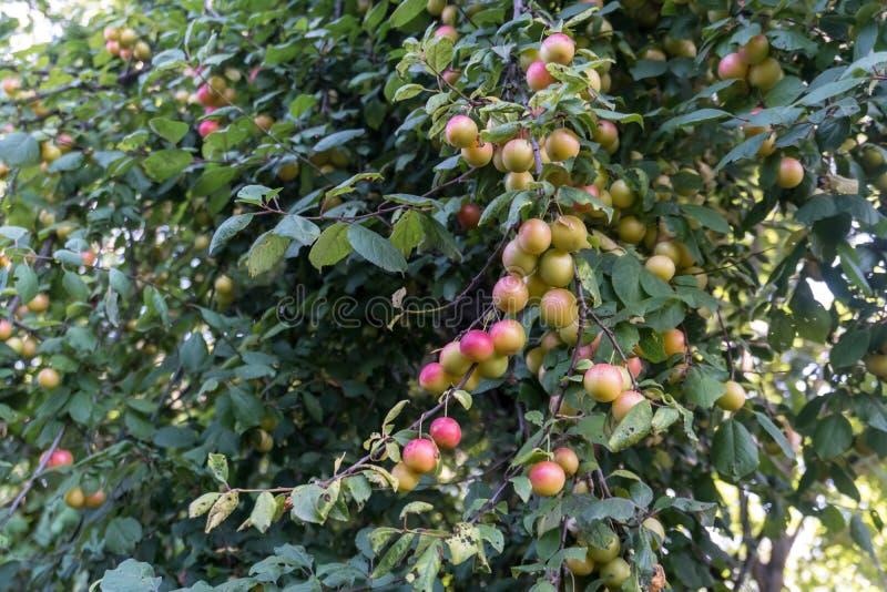 Röda plommoner eller renklo på en buske för plommonträd royaltyfri foto