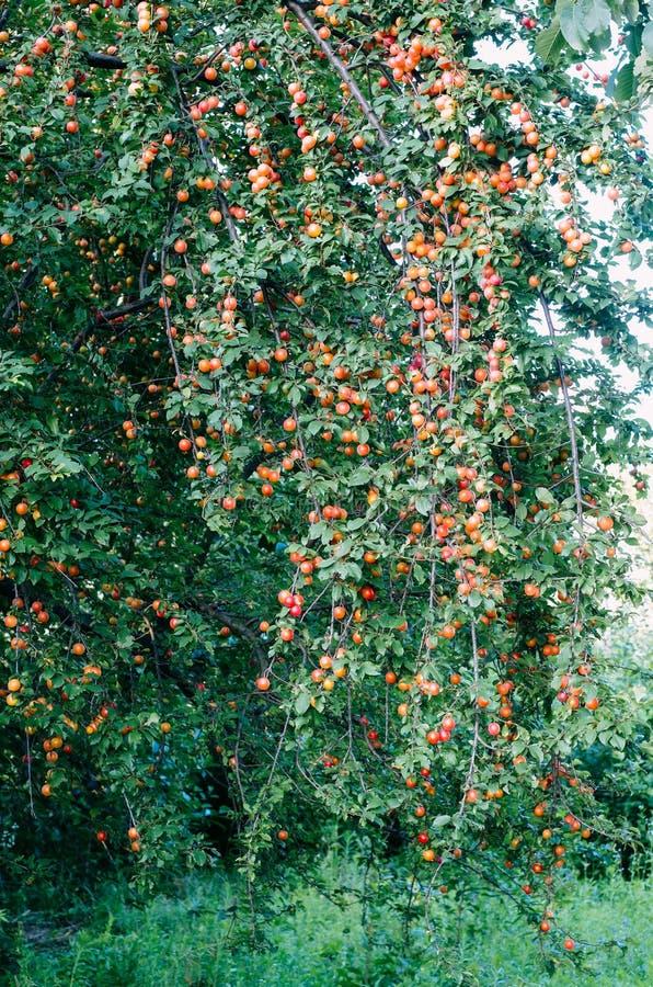Röda plommoner för sen sommar på trädet som växer löst träd för lös plommon under våren och sommar royaltyfri foto